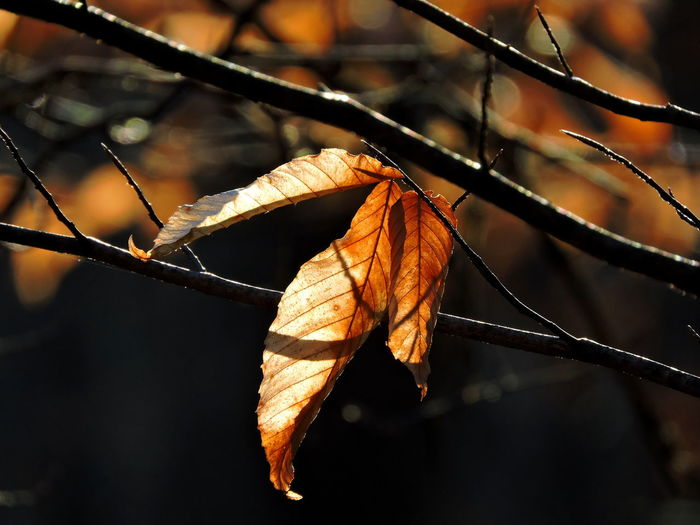 Pokagon State Park Walk In The Forest Plant Part Leaf Autumn Focus On Foreground Close-up No People Plant Change Nature Dry Day Vulnerability  Tree Leaf Vein Outdoors Branch Leaves Fragility Beauty In Nature Orange Color Dead Plant Dried Natural Condition Wilted Plant