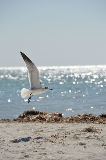 Beach Bird Clear Sky Gull Horizon Over Water Nature One Animal Water