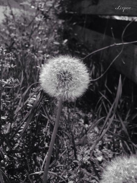 Dandelions Nature EyeEm Nature Lover Blackandwhite