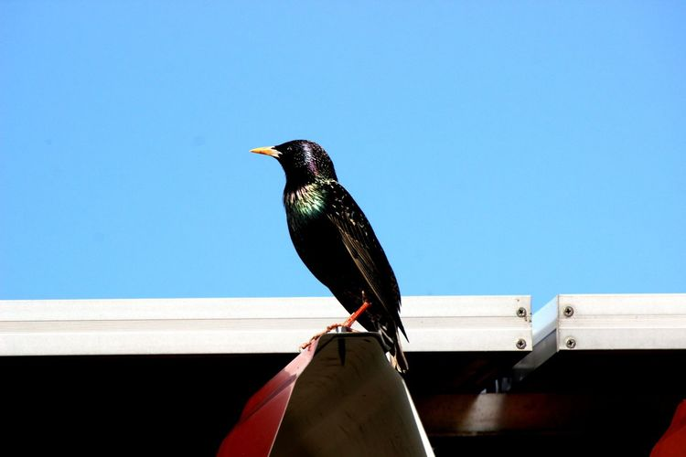 Low angle view of starling perching on metal against clear blue sky