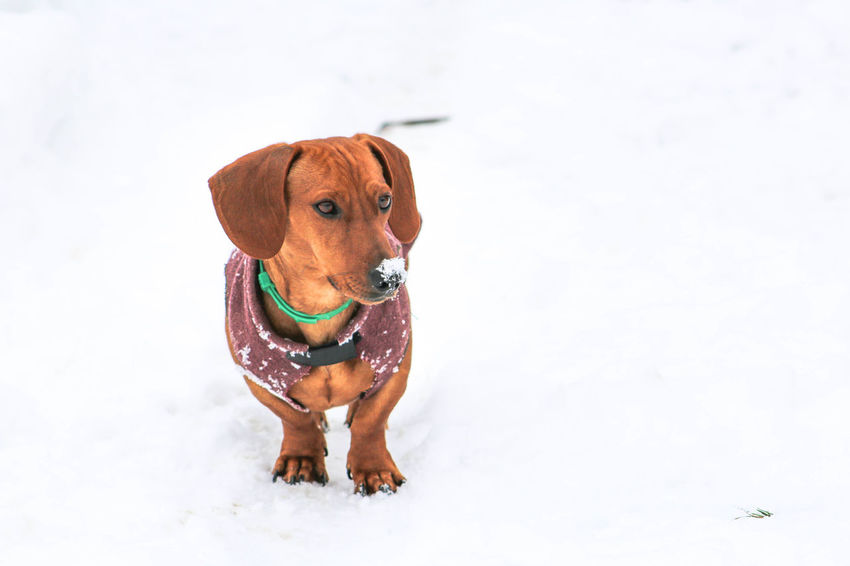Animal Themes Close-up Dachshund Day Dog Domestic Animals Full Length Mammal No People One Animal Outdoors Pet Clothing Pets Portrait Snow White Background Winter