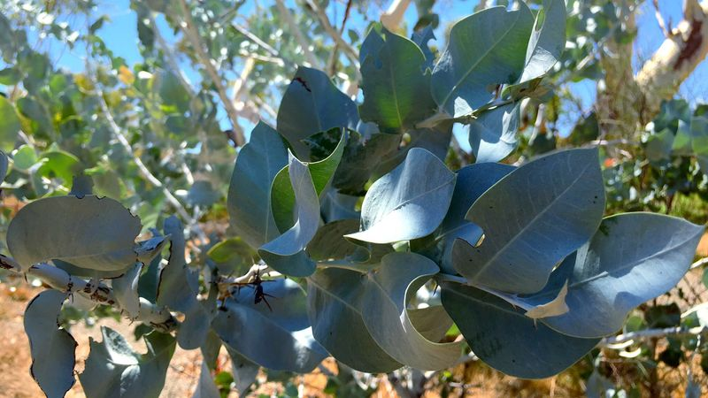 Beauty In Nature Botany Close-up Eucalyptus Flower Fragility Freshness Growth Gum Gum Leaves Gum Tree Gum Trees Leaf Nature New Life IPS2016Blue Blue Gum Bluegums