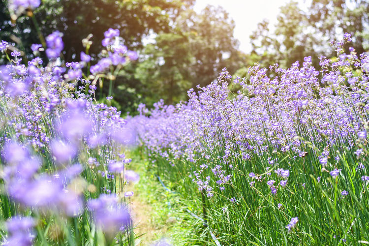 Murdannia Gigantea Thailand Beauty In Nature Blossom Close-up Field Flower Flower Head Flowerbed Flowering Plant Fragility Freshness Growth Lavender Lavender Colored Nature Outdoors Park Plant Purple Selective Focus Springtime Tranquil Scene Violet Vulnerability