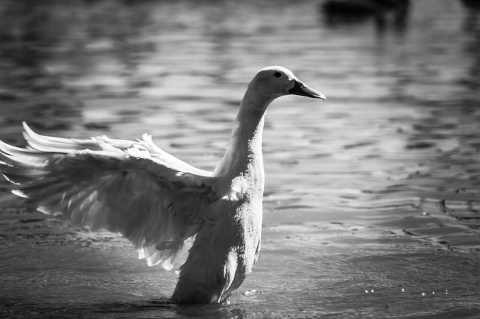 One Animal Animal Themes Animals In The Wild Focus On Foreground Water Day Spread Wings Outdoors Animal Wildlife Nature Bird Outdoor Photography Rgv Enjoying Life Canonphotography Canonrebelt5 Photographylovers Photojournalism EyeEmNewHere Photographyislifee Enjoying The Moment Inthemoment Beautiful Duck Blackandwhite