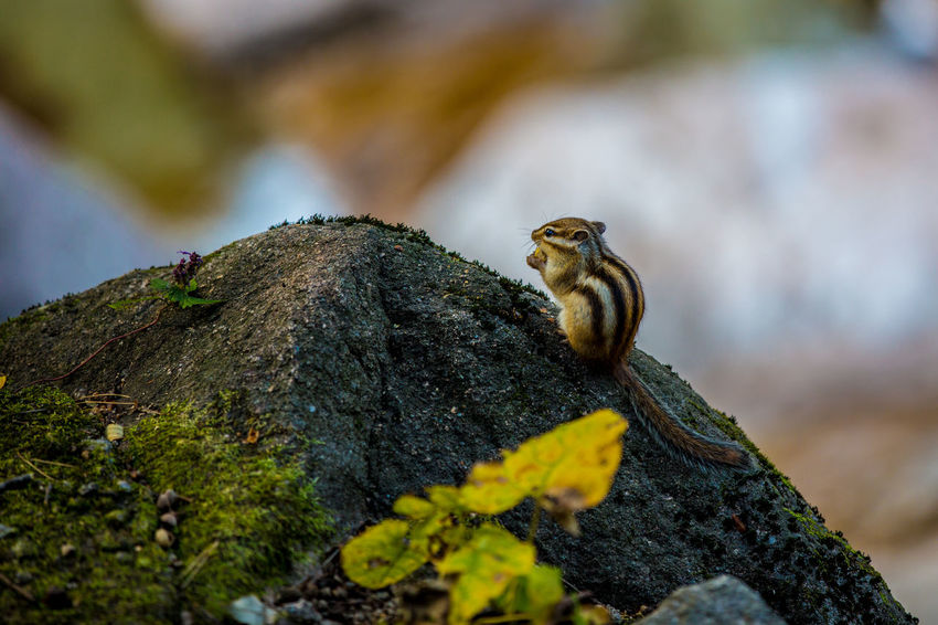 A chipmunk is eating on a rock. Seoraksan National Park Animal Themes Animal Wildlife Animals In The Wild Chipmunk Chipmunk Photography Close-up Day Mammal Nature No People One Animal Outdoors Seoraksan Tree