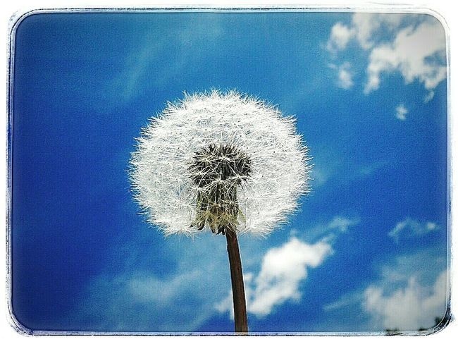 Make A Wish Eyeem Flower Lover Edge Of The World Endless Sky Feeling Childish Eye Em Best Shots Delicate Beauty My Best Photo 2015