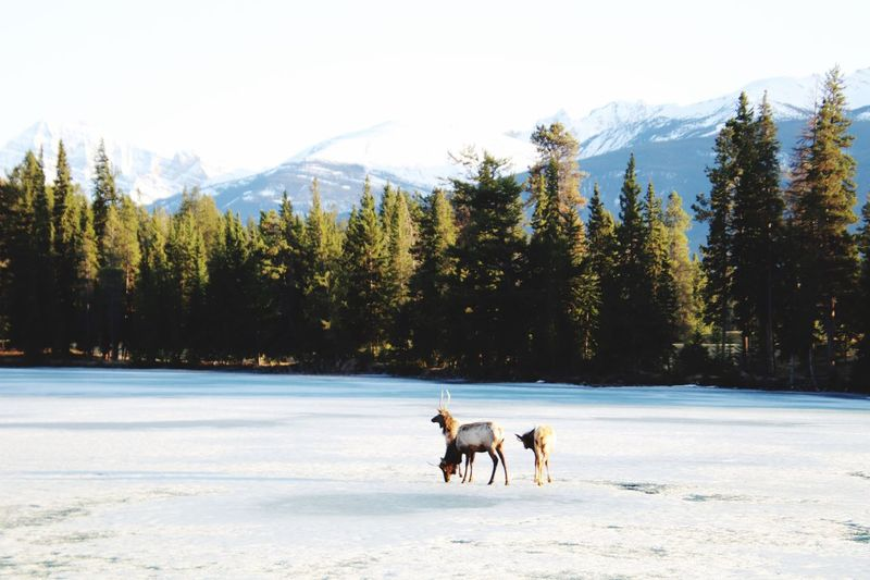 Elks on frozen lake