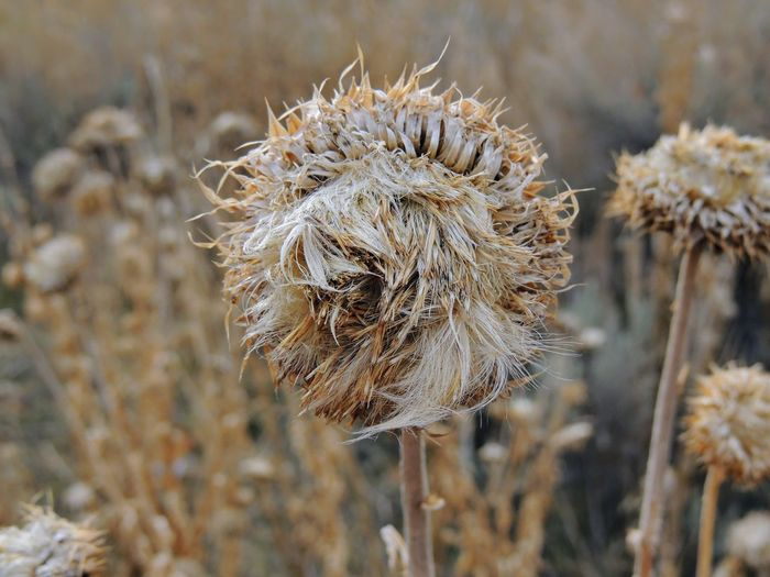 Thistle Weed, Musk (Carduus nutans) or Scotch (Onopordum, acanthium) in the fall, withered and dry, dead, Close up, Macro view, in Yellow Fork and Rose Canyon, Oquirrh Mountains along the Wasatch Front Utah, Salt Lake County, USA. Copy Space Flowering HEAD Musk Seeds Biennial Bracts Cirsium Close-up Common Detail Macro Noxious Reddish Scotch Spike Spine Spines Thistle Thorn Violet Vulgare Weed Weeds Withered