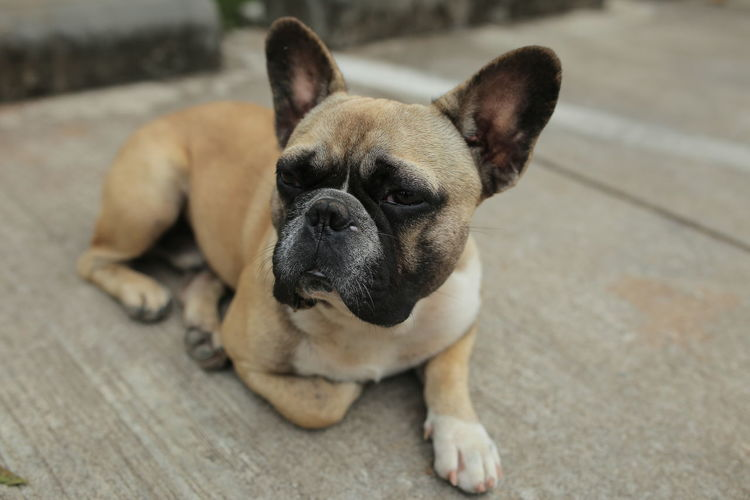 Dog Pets Domestic One Animal Mammal Close-up Small Looking