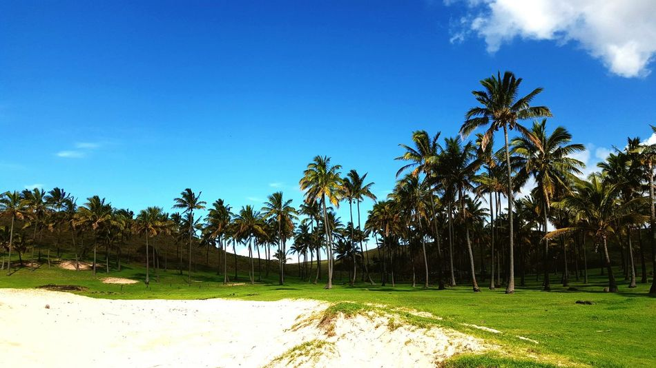 Palm Trees Beach Vacation Travel Destinations White Sand Beach Tropical Rapanui  Easter Island Coulour Of Life