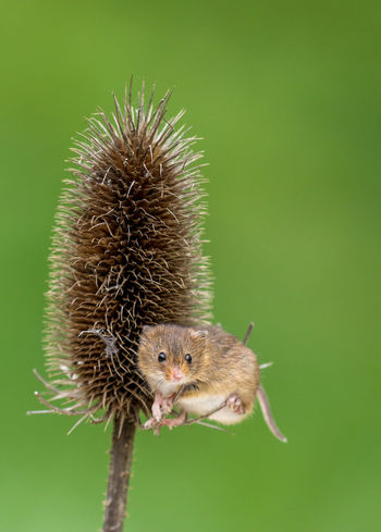 Harvest Mouse Nature One Animal Green Color Thistle No People Outdoors Close-up Animals In The Wild Animal Wildlife