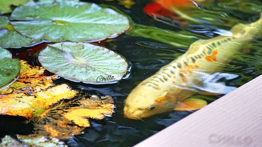 Enjoying my Koi pond. Relaxing Eye4photography  EyeEm Nature Lover Soaking Up The Sun Beauty Color Photography Water Reflections Taking Photos Sony A6000