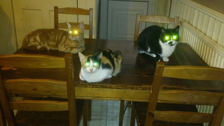 Kitty Cat Cats Killer Cat
