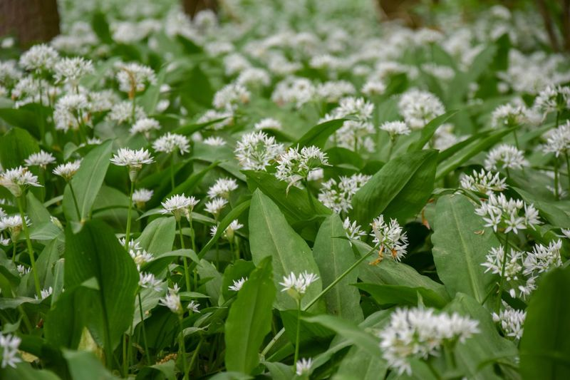 Flower White Flower Bear's Garlic Bear Leek Broad-leaved Garlic Allium Ursinum Amaryllidaceae Family Amaryllidaceae Asparagales Wild Garlic ,woods Nature Trees Wild Garlic Flower Wild Garlic Field Wild Garlic Flowers Wild Garlic Wood Garlic Buckrams Ramsons Hallerbos Hallerbos - Bois De Hal Hallerbos -bois De Hal Allium Allium Flower Flower Flowering Plant Plant Beauty In Nature Growth Fragility Freshness Green Color