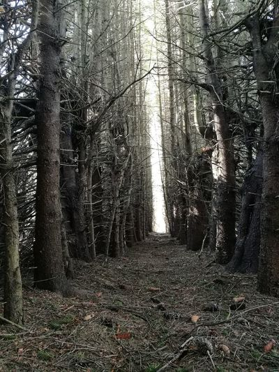 Light at the end of the tunnel Beauty In Nature Coniferous Tree Forest Light At The End Of The Tunnel Nature Outdoors Picea Abies Scenics - Nature Spruce Trees Trail Tranquility Tree Tree Alley WoodLand