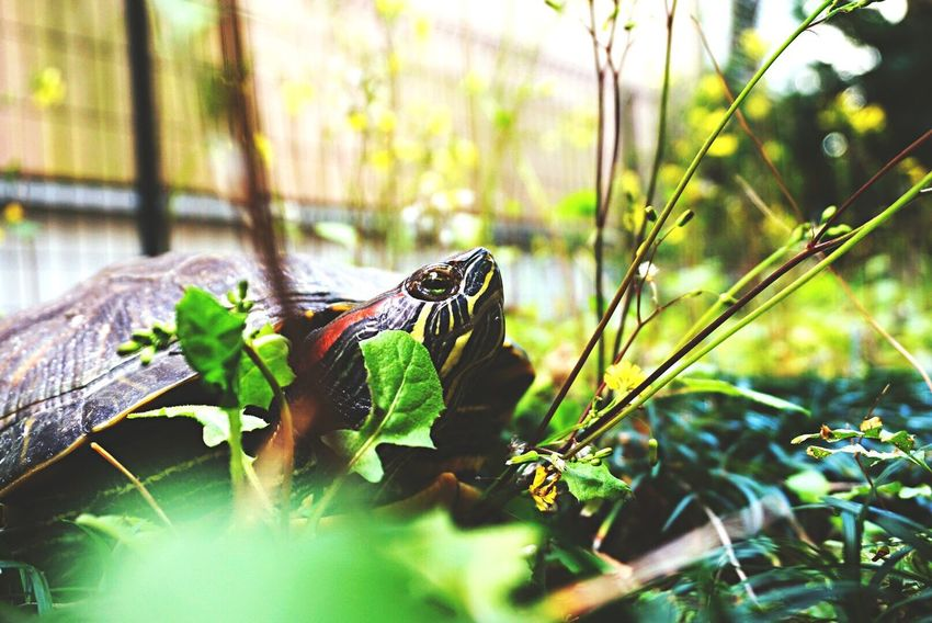 Animals In The Wild Turtle Animal Animal Themes One Animal Animal Wildlife Nature Green Color Outdoors EyeEm Followme Growth Likeforlike Eye4photography  Love ♥ Close-up Beauty In Nature Animal Photography Animal_collection Animal Head  Nature Lifestyles Day Photo Good