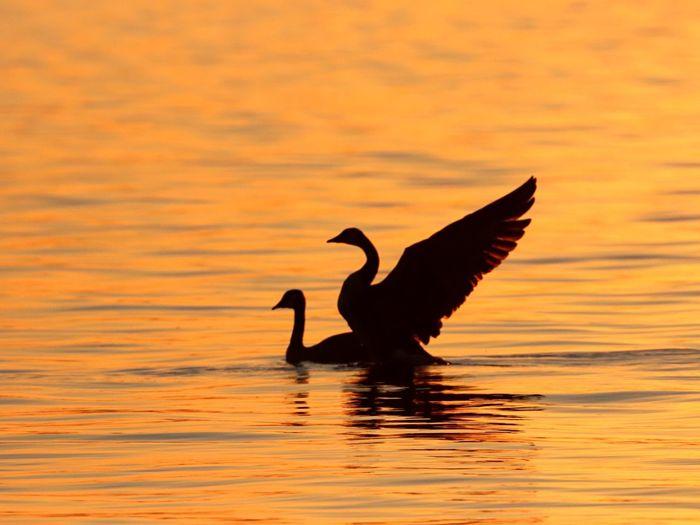 Animals In The Wild Bird Water Spread Wings Silhouette Animal Wildlife No People Bird Photography Water Bird Goose Wings Animals Photography