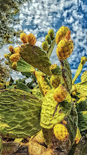 Hintinciri Frenkinciri Dikenliincir Priclypear Cactus Plants Streamzoofamily EyeEm Best Shots Nature_collection Hdr_Collection Hdr_gallery Hdr_lovers EyeEm Nature Lover Naturephotography Taking Photos Hdr_captures