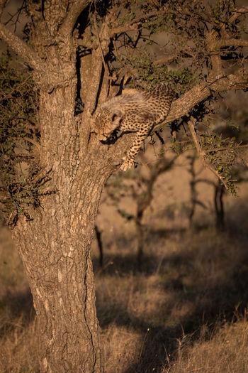 Cheetah On Tree