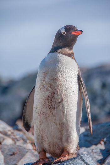 Close-up of penguin on beach