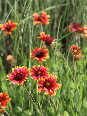 Beauty In Nature Blanket Flower Blooming Close-up Day Flower Flower Head Fragility Freshness Growth Nature No People Outdoors Petal Plant Wildflowers