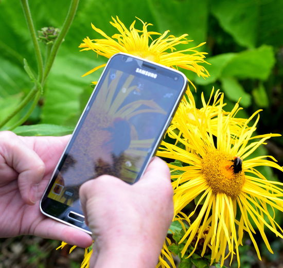 Cellphone Close-up Flower Flower Head Fragility Holding Human Hand Insect Photography Mobile Phone Outdoors Photo Of People Taking Photos Photo Of Photo 📱📲 Photographing Photography Themes Screen Smart Phone Technology Using Phone Wireless Technology Yellow Yellow Flowers