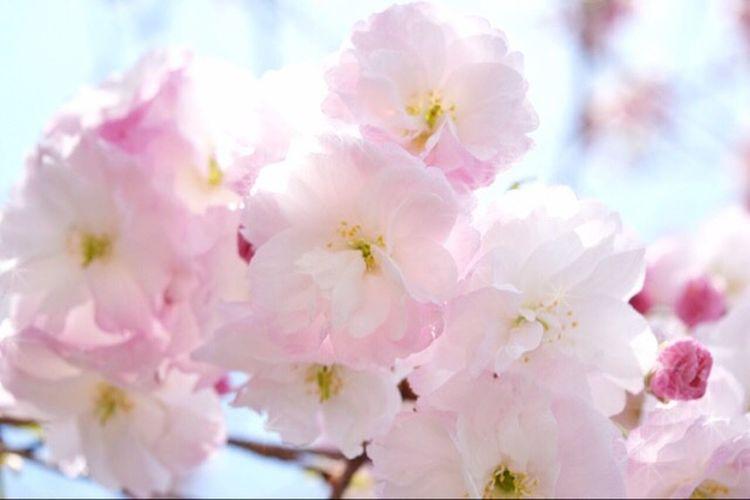 この間の八重桜 咲いてたょ🌸 桜 八重桜 春 笑顔 キミに届け Cherry Blossoms Happiness Smile Spring Flowers Natural Beauty Spring Love