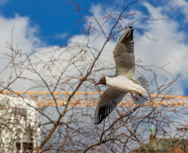 black-headed gull Urban Wildlife City Wildlife Outdoors Day Focus On Foreground Cloud - Sky Bare Tree Motion No People Nature Sky Mid-air Low Angle View Tree One Animal Spread Wings Animal Themes Animal Animal Wildlife Animals In The Wild Flying Vertebrate Bird Black-headed Gull