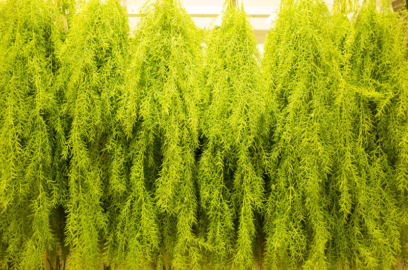 Green Color Plant Growth Tree Beauty In Nature No People Tranquility Day Lush Foliage Foliage Nature Land Forest Outdoors Tranquil Scene High Angle View Scenics - Nature Coniferous Tree Abundance Environment Evergreen Tree Fir Tree