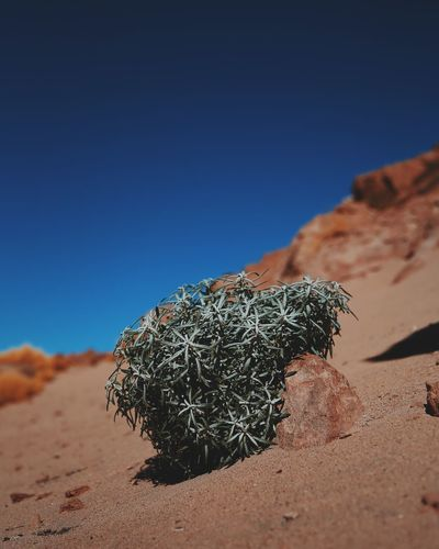 Dried Bush On Sand At Atacama Desert Against Clear Blue Sky