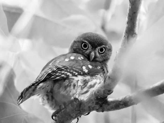 Animal Themes Beauty In Nature Bird Bird Of Prey Black And White Close-up Magazhu Nature No People Outdoors Owl Pygmy Owl Showcase August Wildlife Yelapa