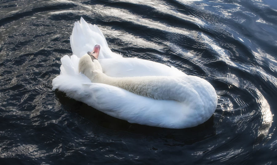 Swan. Animal Themes One Animal Swimming Animals In The Wild Water Full Length Outdoors No People Swan Day Nature Horizontal Portsmouth Canoe Lake Southsea England Hampshire
