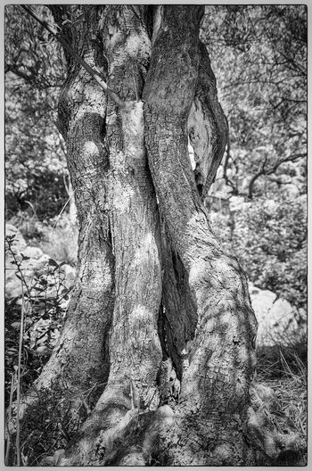 Olive Tree Olive Cres Kovacine Croatia Nature Nature_collection Nature Photography Naturelovers Monochrome Photography Nature_collection Nature Beauty EyeEm Gallery EyeEm Best Shots - Nature EyeEm Best Shots - Black + White EyeEm Nature Lover Black And White Black & White Black And White Photography Black And White Collection  The Great Outdoors - 2016 EyeEm Awards Eyeem Market The Great Outdoors Nature My Favorite Place Light And Shadows light and reflection The Street Photographer - 2017 EyeEm Awards The Great Outdoors - 2017 EyeEm Awards Sommergefühle EyeEm Selects Breathing Space Investing In Quality Of Life The Week On EyeEm EyeEmNewHere Your Ticket To Europe Mix Yourself A Good Time Been There. Discover Berlin Done That. Lost In The Landscape Second Acts Be. Ready. Perspectives On Nature Rethink Things Black And White Friday EyeEm Ready   AI Now An Eye For Travel Go Higher This Is Aging Visual Creativity Summer Exploratorium Focus On The Story #FREIHEITBERLIN The Troublemakers Summer Road Tripping