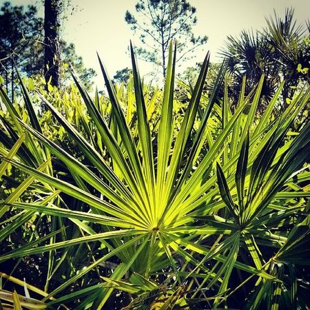 Young Saw Palmetto - Nature Pattern Hikingtrail Marsh Florida Nature outdoors