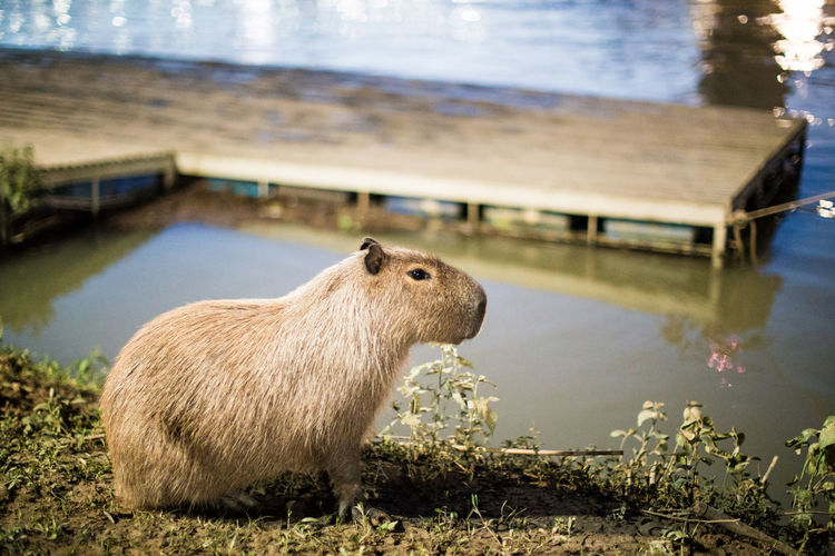 Side view of capybara on field by lake
