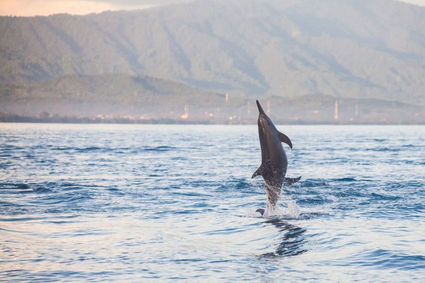 Holiday in Bali, Indonesia - Dolphin Beach Lovina Bali, Dolphin Jumping ASIA Bali Bali, Indonesia Balinese Beach Day Dolphin Dolphin Beach Dolphin Jumping Dolphin Show  Dolphin Watching  DolphinShow Holiday Indian Ocean Jumping Lovina Lovina Beach No People Outdoors Photo Real Real Dolp