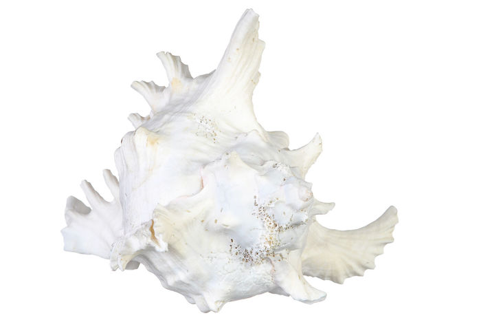 sea shell isolated on white Aquatic Life Clam Decor Isolated Isolated White Background Large Marina Marine Life Sea Seashell Shell Shoreline Spa White Background