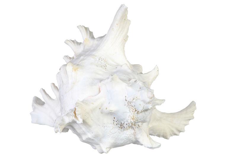 sea shell isolated on white Aquatic Life Clam Decor Isolated Isolated White Background Large Marina Marine Life Sea Seashell Shell Shoreline Spa White Background