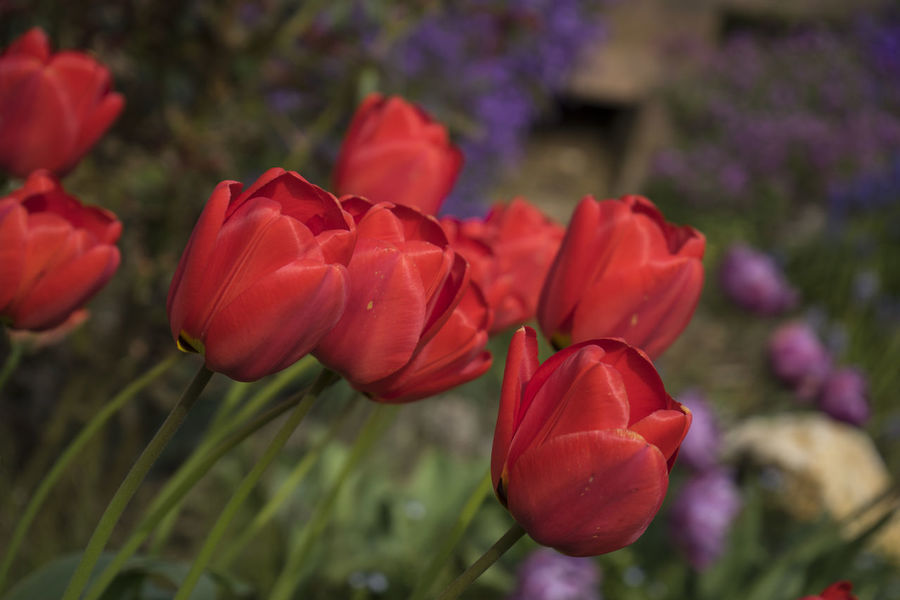 Abundance Beauty In Nature Blooming Blumen Botany Flowers Focus On Foreground Garden Garten In Bloom Natur Nature Nature_collection Outdoors Red Tulips Rot Tulips Tulpen