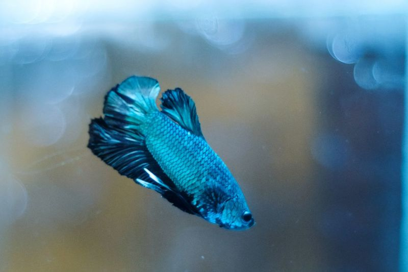 Close-up of bettafish