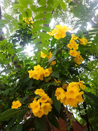 Golden Trumpet tree Green Leaf Leaves Tree Flowering Tree Golden Trumpet Tree Clusters Of Flowers Small Flowers Yellow Flowers Sunlight Sunlight Through Trees Flower Tree Flower Head Yellow Leaf Branch Sky Close-up Plant Blooming Botany Yellow Color Blossom