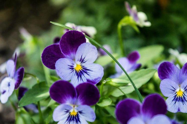 Violet Garden