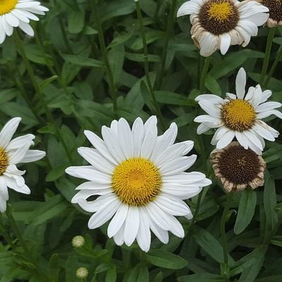 Daisies Flower Petal Flower Head Growth White Color Beauty In Nature Plant Fragility Nature Close-up Pollen Freshness Day Summer Outdoors No People Blooming North Carolina Day Tripping Love Where You Live Blossom