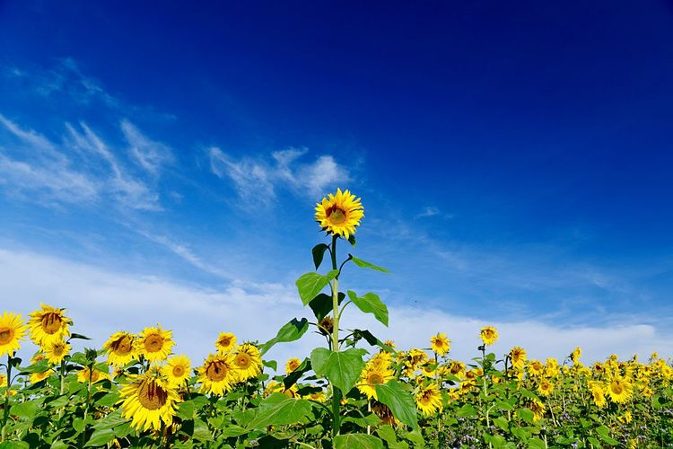 Outdoors Agriculture Field Plant Flower Flowering Plant Sky Freshness Growth Beauty In Nature Fragility Blue Vulnerability  Sunflower Yellow Cloud - Sky Nature Inflorescence No People Low Angle View Tranquility Petal Flower Head