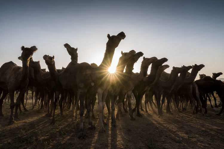 Camels Standing On Field Against Sky During Sunset