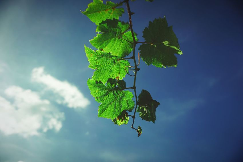 Grape Leaves Sony A6000 Leaf Growth Nature Green Color No People Plant Day Freshness Beauty In Nature Close-up Sky