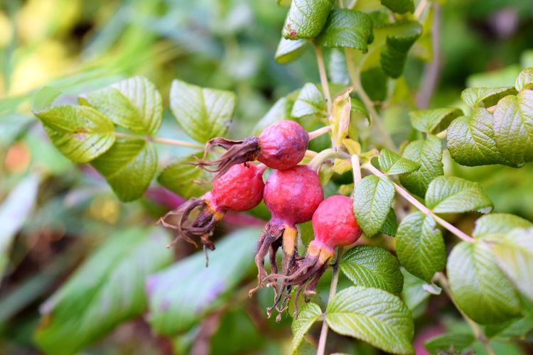 Fruit Healthy Eating Plant Growth Food And Drink Plant Part Food Freshness Close-up Leaf Focus On Foreground Beauty In Nature Green Color Red Nature