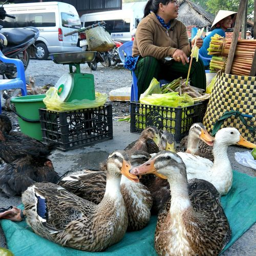 Ducks Ducks For Sale Weighing Machine Weighing Scale Vietnam Sóc Trăng Duck Supermarket Bird Business Occupation Market Retail  Working Business Finance And Industry Store For Sale Market Stall Farmer Market Street Market Stall Display