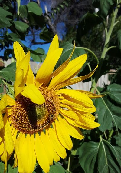 Wave bye to summer Beauty In Nature Close-up Flower Flower Head In Front Of A Fence Lusk Wyoming Very Big Flowers Vibrant Color Yellow