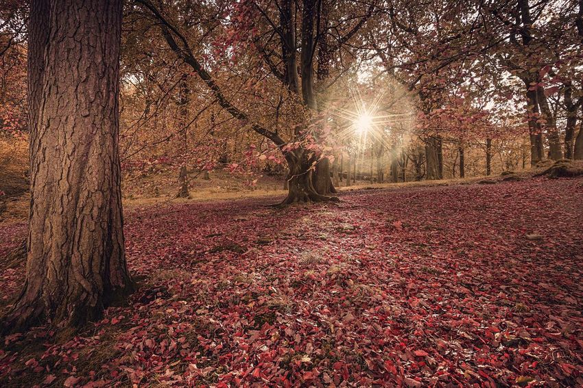 Forest Star Tree Sunbeam Sunlight Autumn Forest Woods Outdoors Lakedistrict Cumbria TreePorn Tree_collection  Sun_collection Treelovers Nature Tree Trunk Beauty In Nature Sun No People Adults Only Sun Star Leaves Leaves_collection Autumn Colors Autumn Leaves